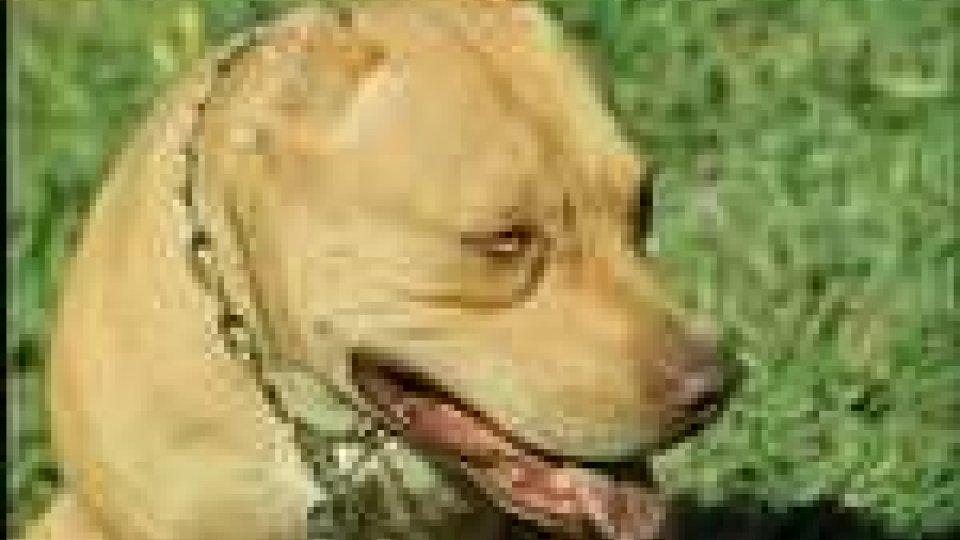 Verucchio: aggressione di pitbull
