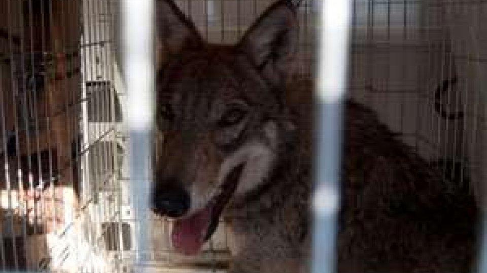 Ritrovato giovane lupo a Ponte Messa