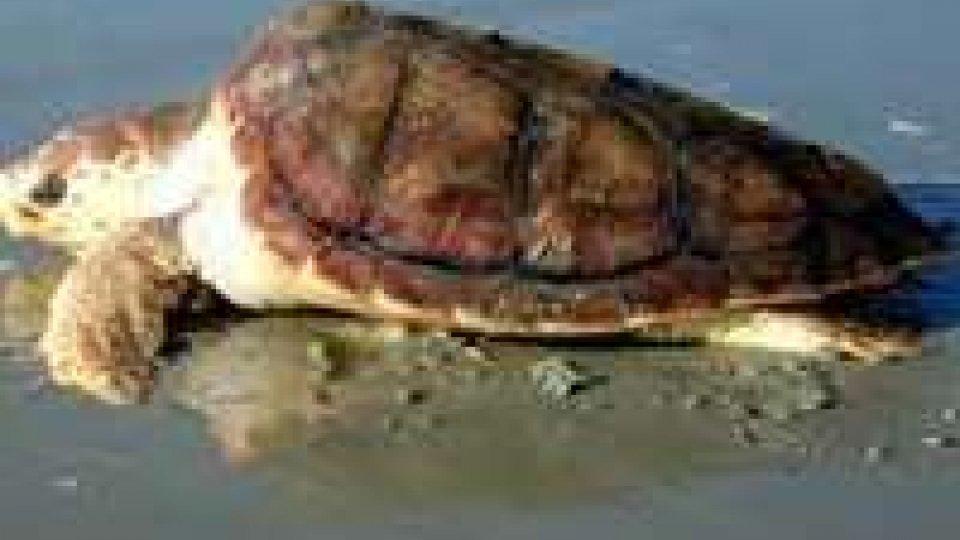 Riccione. Rinvenuta una tartaruga di mare spiaggiata