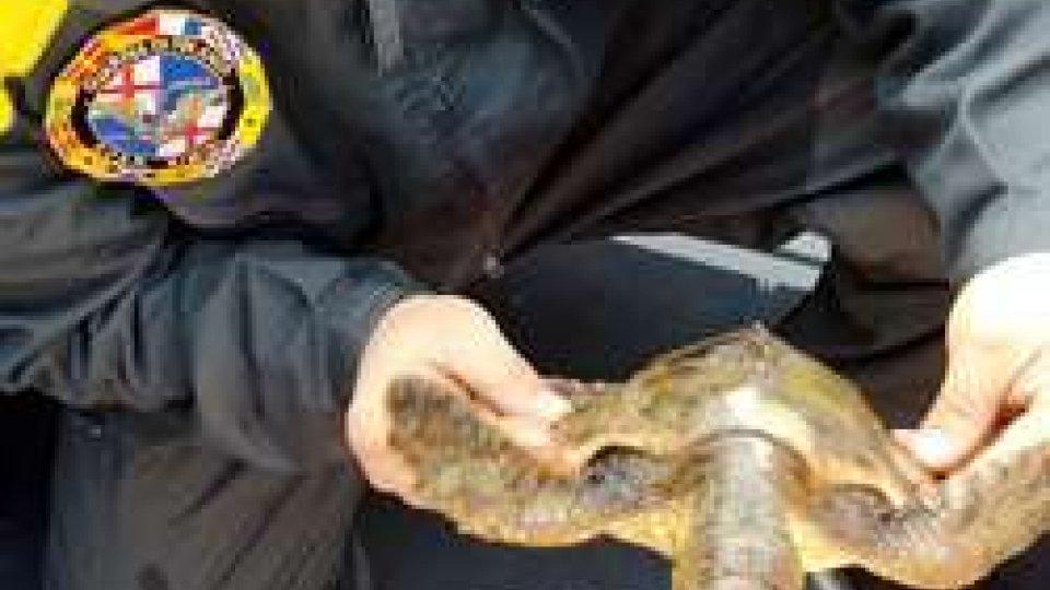 Recuperata una tartaruga nel porto di Ravenna