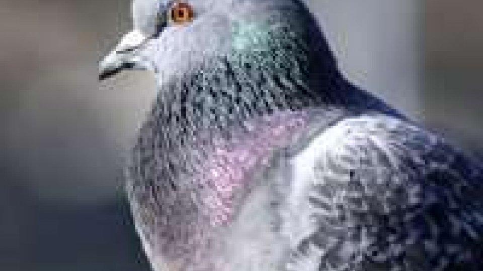 Dal Giappone piccione sorvola Pacifico e arriva in Canada