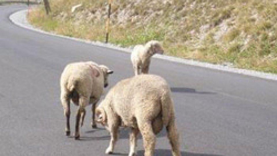"""Pecore in """"divieto di sosta"""", allevatore multato ma il Sindaco impugna il verbale"""