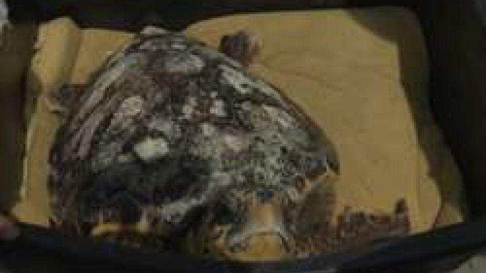 La tartaruga marinaRimini: rimessa in libertà una tartaruga marina curata dalla Fondazione Cetacea