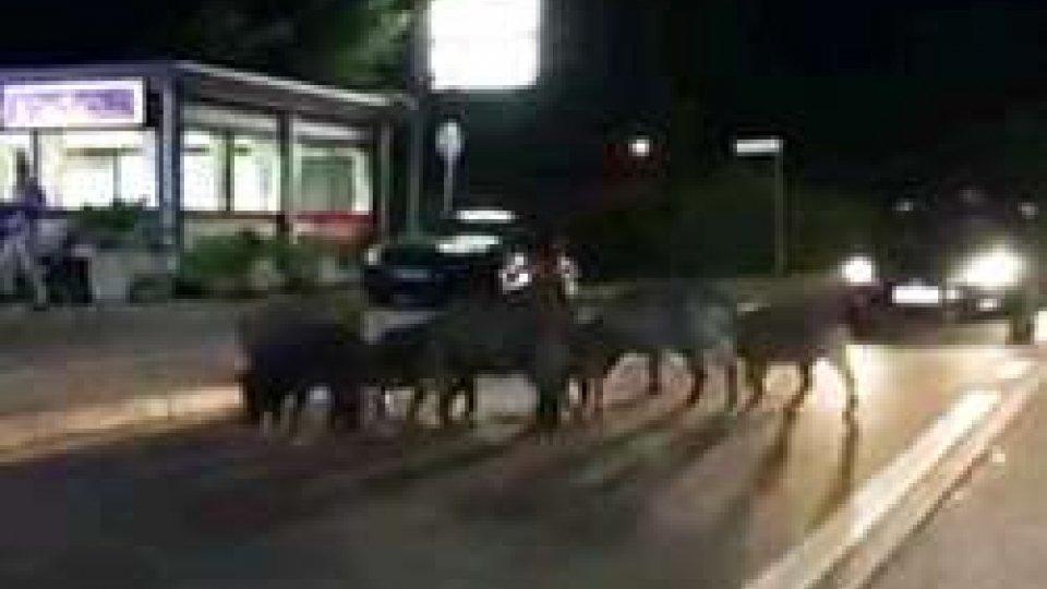 cinghiali a FiorentinoFiorentino: una famiglia di maiali, segnalati come cinghiali, a passeggio per il Castello