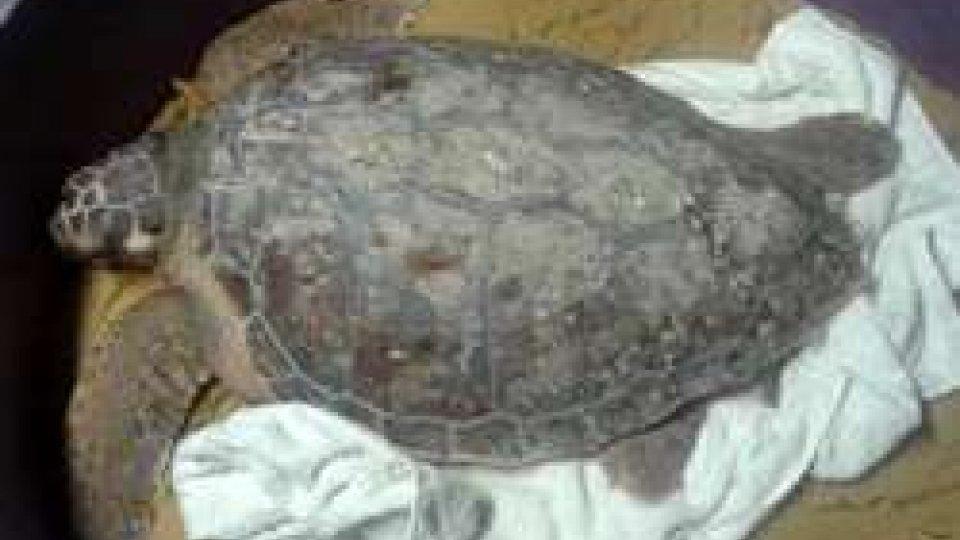 Rilascio di due tartarughe marine