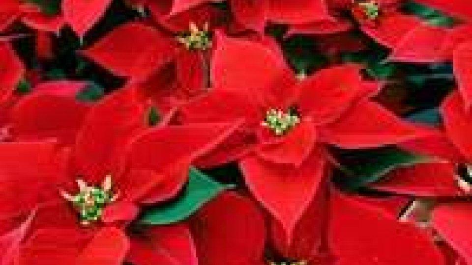 Stelle di Natale tossiche: la denuncia dell'Aduc