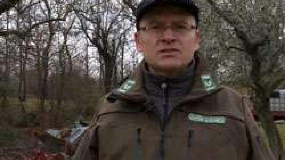 Guardia EcologicaBranco di lupi sbrana tre pecore e un ariete a Piandavello
