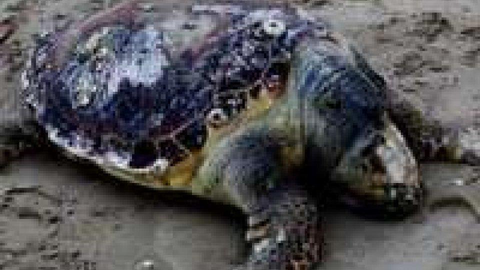 Diciotto tartarughe spiaggiate sui litorali romagnoli