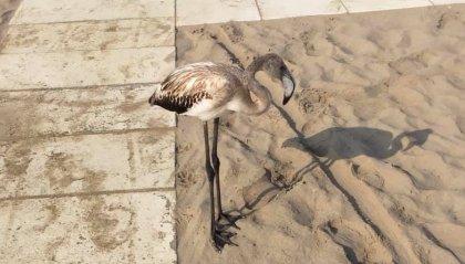 """Rimini: fenicotteri avvistati in spiaggia. Il centro Anpana: """"non disturbateli"""""""