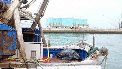 Ritrovamento eccezionale di una tartaruga marina gigante lungo la costa Emiliano-romagnola