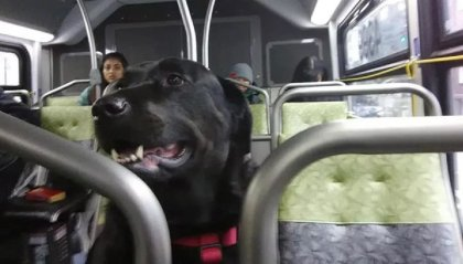 Il cane che prende l'autobus da solo