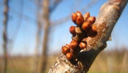 Clima: Coldiretti, in Emilia Romagna già le gemme sugli albicocchi
