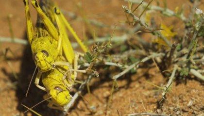 """Invasione di locuste nel Corno d'Africa, allarme FAO: vicini alla """"catastrofe umanitaria"""""""