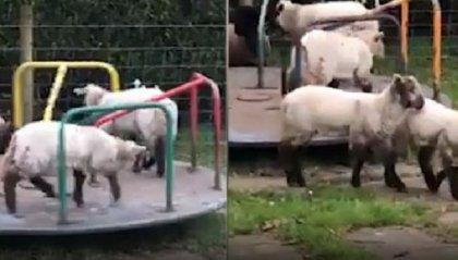 Le pecore si divertono al parco giochi durante il lockdown