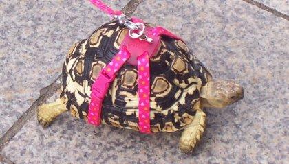 Porta a spasso la sua tartaruga: multata