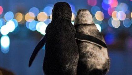 L'abbraccio tra i due pinguini diventa simbolo dell'amore e del supporto in quarantena