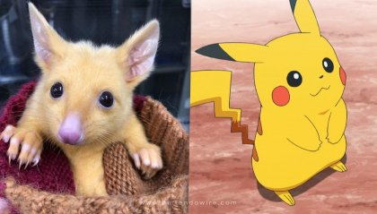 Pikachu esiste  e vive in Australia