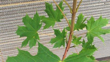 Progetto Flora dell'Associazione San Marino-Italia: il Titano più verde con il contributo dei Cittadini