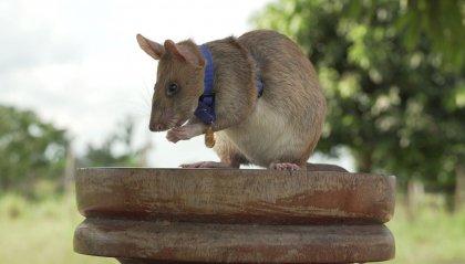 """Premiato Magawa, il ratto """"sminatore"""""""