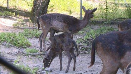 Daini usciti dal recinto a Montecchio: ora di nuovo tutti insieme