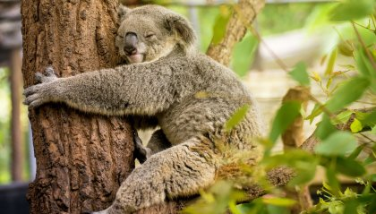 WWF: Koala sempre meno in Australia orientale dopo gli incendi