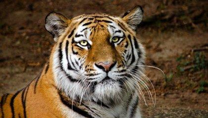 Giornata Mondiale della Tigre: il felino più grande del mondo è anche quello più a rischio di estinzione