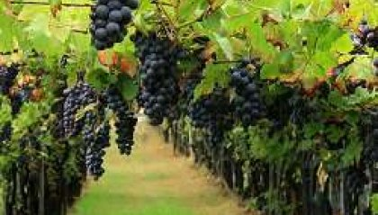 Dall'uva al vino: vendemmiamo, pestiamo l'uva e degustiamo!!!